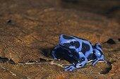 Forme bleue du Dendrobate doré Costa Rica