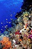 Banc de Barbiers rouges près d'un récif corallien Mer Rouge