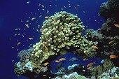Banc de poissons près d'un récif corallien Mer Rouge Soudan