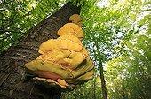 Sulfur Mushrooms on a trunk Bourgogne France