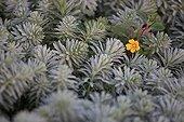 Water-Primrose flower on Watermilfoil in the Grand-Lieu lake