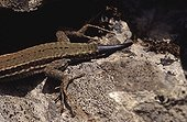Wall Lizard's queue in the process of pushing France
