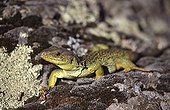 Ocellated Lizard female in Hyères in the Var France