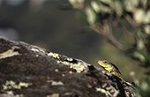 Head of ocellated female Lizard  in Hyères in the Var France