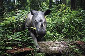Female Sumatran Rhinoceros in rainforest Sumatra ; This female rhino's habituation to humans could put her at risk.  Eventually she was transferred to a 10 hectares Sanctuary of rainforest where she could be better protected and possibly reproduce.<br>World population is below 400 individuals in 2006.<br>