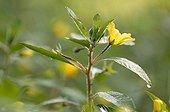 Flower of Water-Primroses invading Grand-Lieu lake France