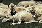 Sheeps sleeping in a pasture Hautes-Pyrenees France