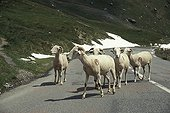 Sheeps on a pass road Hautes-Pyrenees France