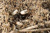 Fourmis ouvrières et leurs oeufs sur une fourmilière France