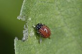 Larva of Colorado potato beetle on an Eggplant leaf France