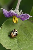 Colorado potato beetle on an Eggplant leaf France