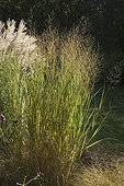 Old switch panic grass at Jardin du fond de l'or
