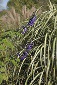 Sage in bloom at Jardin du fond de l'or