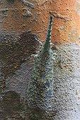 Lantern Fly on a trunk Gunung Leuser National Park Sumatra