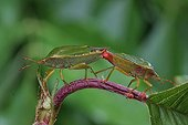 Coupling of Green shield bug France