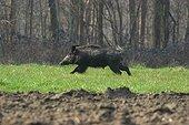Wild boar running France