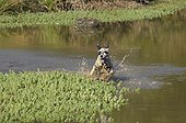 English setter running in the water