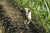 English Setter running on a path