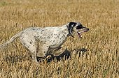 English Setter running in a field