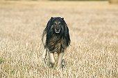 Belgian shepherd running in a field