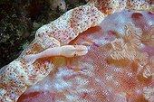 Imperial shrimp cleaning a Spanish dancer Nusa Kode