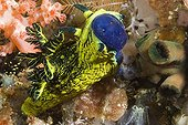 Nudibranch eating an ascidie Nusa Kode Indonesia