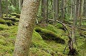 Tree with bark beetle galleries Norra Kvill NP Sweden
