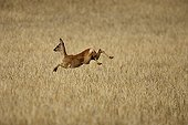 Female Roe deer running in a field France