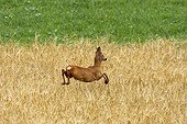 Young Roe deer running in a field France