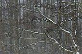 Forêt de feuillus en hiver Bialowieza Pologne