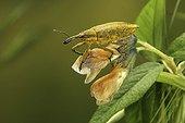 Weevil on a sweet pea stalk Sancerre France