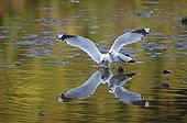 Common Gulls in courtship behaviour in a lake Norway ; Goélands cendrés en parade nuptiale dans un lac Norvège