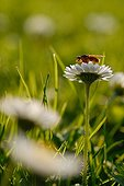 Common yellow dung fly on a lawndaisy France