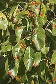 Pear tree foliage attacked by Rust screened France ; 0 2 Record Version  <br>120 2 Caption vue d'ensemble du feuillage photo prise sur un poirier à St Pryvé St Mesmin (Loiret) <br>