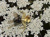 Mating attempt between two species of Crab spiders ; Localité : Saint-Jean-du-Bruel.