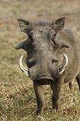 Desert warthog PN Kruger South Africa