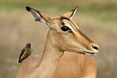 Red-billed oxpeckers on an Impala PN Kruger South Africa