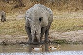 White Rhinoceros drinking near Egyptian geese PN Kruger