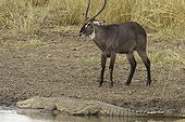Waterbuck and Nil crocodile PN Kruger South Africa