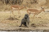 Chacma baboon and Impalas PN Kruger South Africa