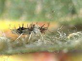Almond LAce Bug juvenile feeding in a Pear leaf
