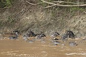 Wildebeests drowning while attempting to cross the Mara ; The 10000 deaths crossing. Year 2007.