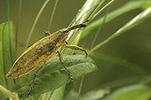 Portrait of Weevil mouving  through the vegetation France