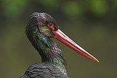 Portrait of a Black Stork Sumava National Park