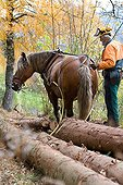 Hauling in forest with a draught horse Comtois Vosges