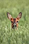 Roe Deer hidden in a field of wheat Champagne France