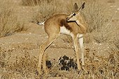 Young Springbok Kgalagadi NP South Africa