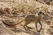 Meerkat in Kgalagadi NP South Africa