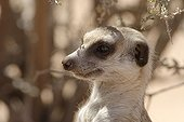 Portrait of a Meerkat in Kgalagadi NP South Africa