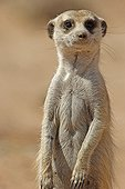 Portrait of a Meerkat Kgalagadi NP South Africa